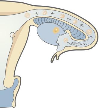 que ocurre durante la ovulación